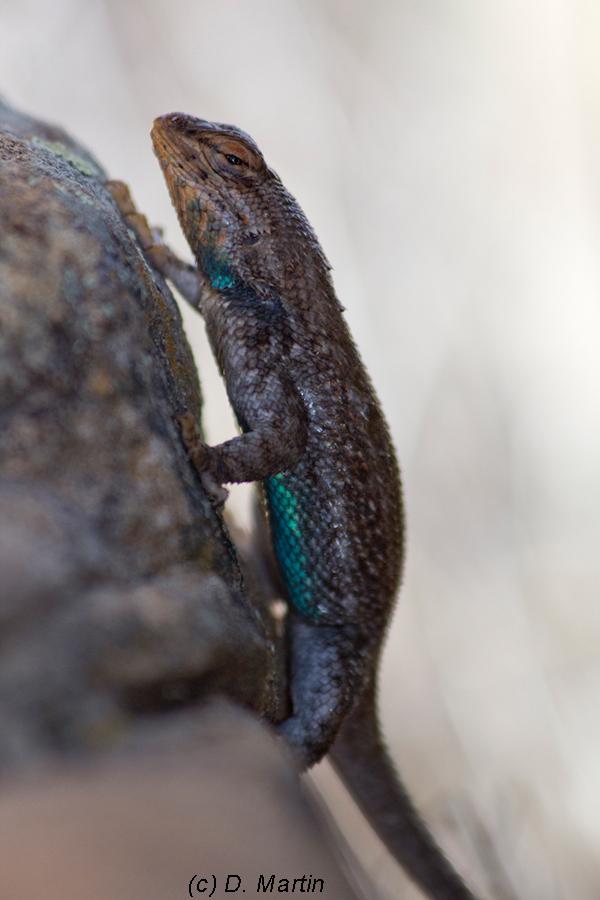 Prairie Lizard, Otero-Las Animas County Colorado.