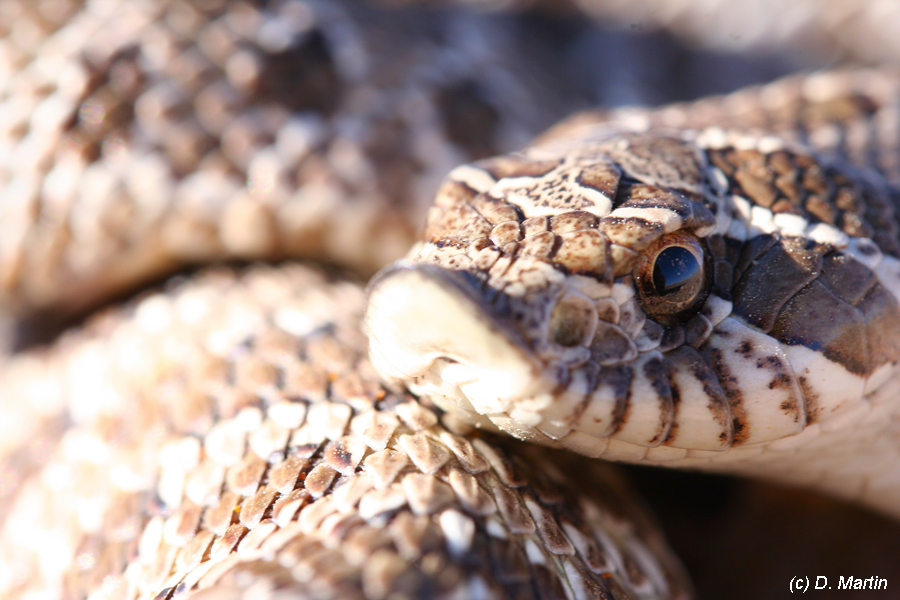 Rattlesnake photo taken at #### place on #### date.