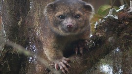 The olinguito (Bassaricyon neblina). Image credit: Mark Gurney.