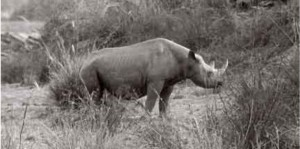 Image via http://blogs.scientificamerican.com/extinction-countdown/2013/11/13/western-black-rhino-extinct/. A western black rhino photographed by M. Brunel in 1977 in Bouba Ndjida National Park, Cameroon, from Pachyderm: The Journal of the African Elephant, African Rhino and Asian Rhino Specialist Groups. Used under Creative Commons license.