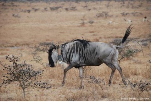 Wildebeest_collar_credit
