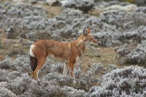 Ethiopian wolf on the Sanetti Plateau, Bale Mountains