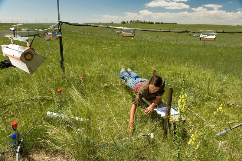 Megan xx, a technician at USDA-ARS, collects plant data at the Prairie Heating and CO2 Enrichment (PHACE) experiment. In the foreground, a flowering Dalmatian toadflax plant towers over native grasses.