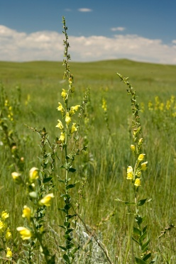 1.	Dalmatian toadflax (Linaria dalmatica) is one of the most common invasive plants in northern mixed-grass prairie.