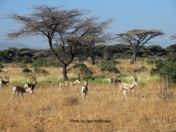 Gazelles with photo credit