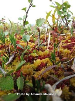 arctic tundra for EcoPress