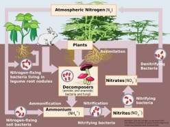Nitrogen Cycle image with credit