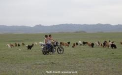goat herding Mongolia