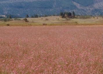 Knapweed on BLM land_crop